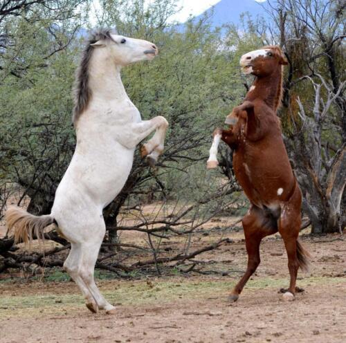 3 Wild horses sparing bob