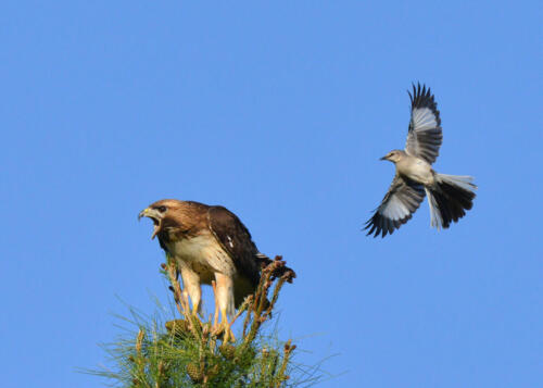 5 Red Tail hawk being pestered by mocking bird bob