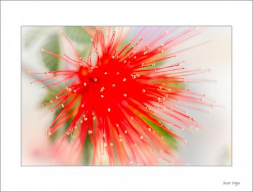 Bottlebrush- susan