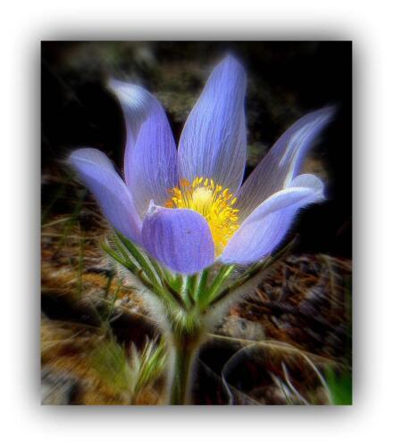 CROCUS Pasque flower
