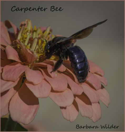 Carpenter Bee barb