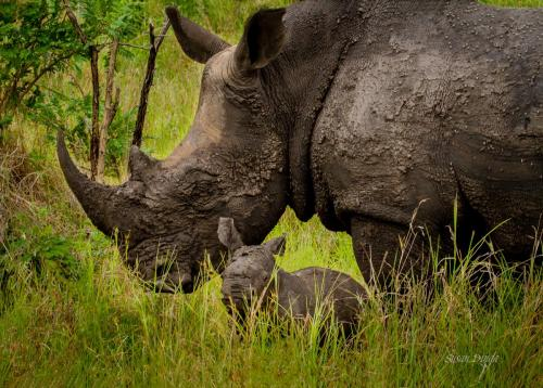 Dinga - Rhino with Calf-susan