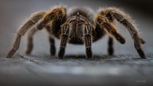 Dinga - Tarantula Up Close- sm-9331