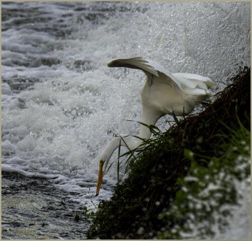 Diving Egret.Wilder