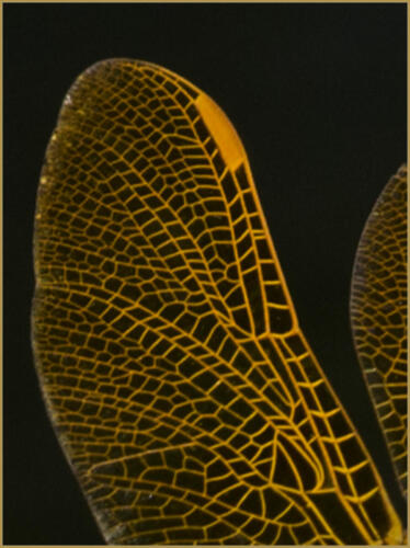 Dragonfly Wing barb