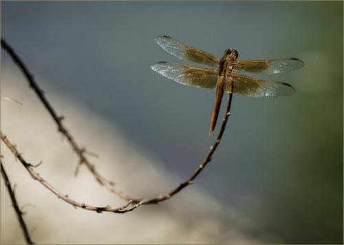 Dragonfly4 barb