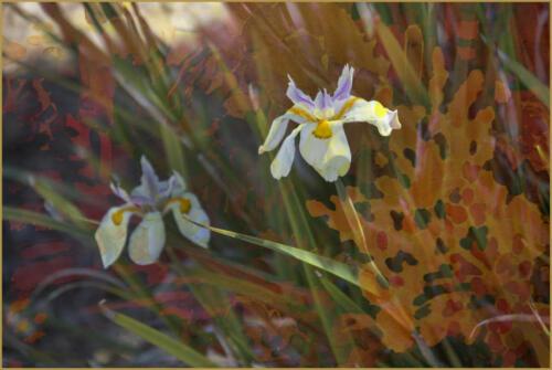 Iris with Texture
