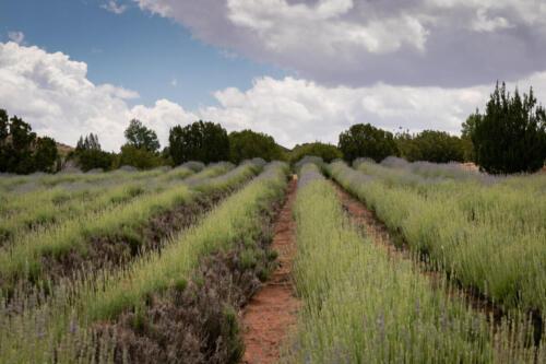 Lavender-105 helen