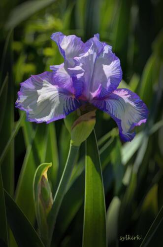 SKirk-Iris,at Mesquite Valley Nursery