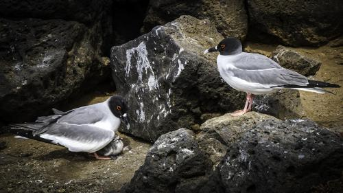 Swallow-Tail Gulls Protecting Their Chick - Galapagos-susan
