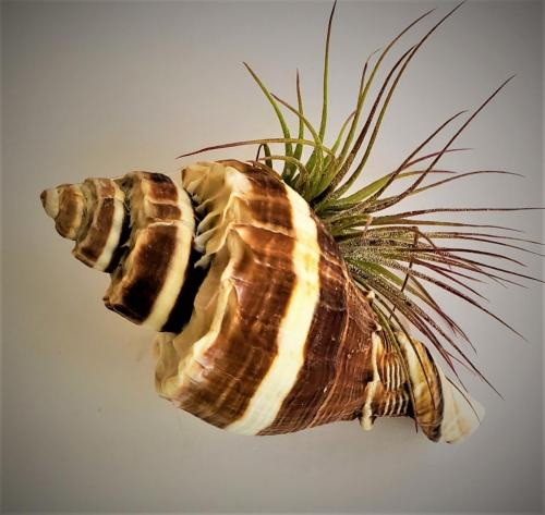 Tillandsia (Air Plant) in a Shell beverly