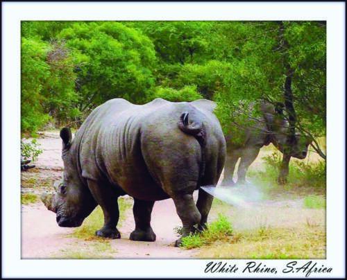 White Rhino pissing copy