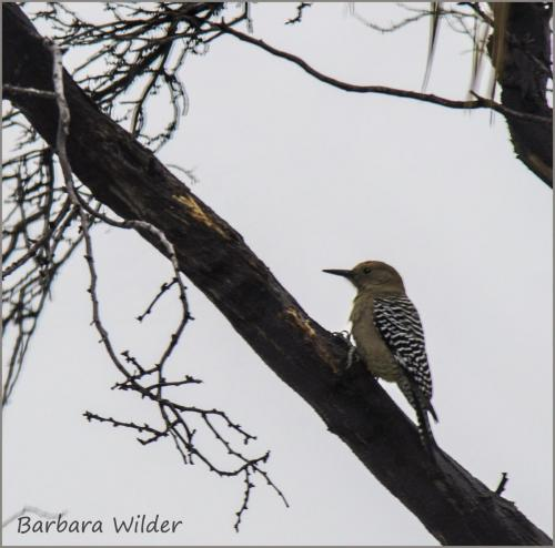 Wilder-Woodpecker