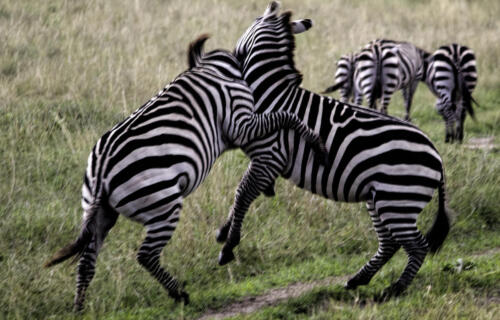 Zebra fight crop exh-1-1-Edit andrea