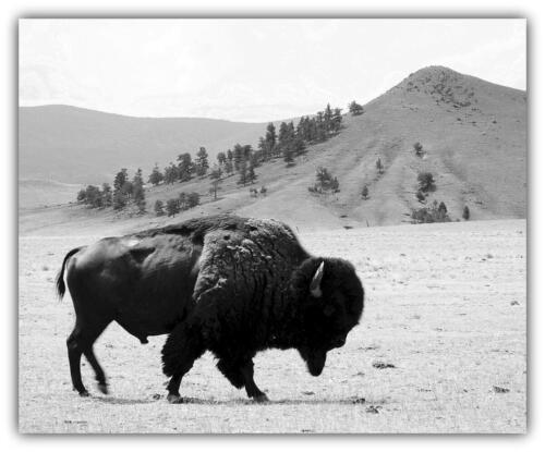 buffalo in balance with the baclground bernie