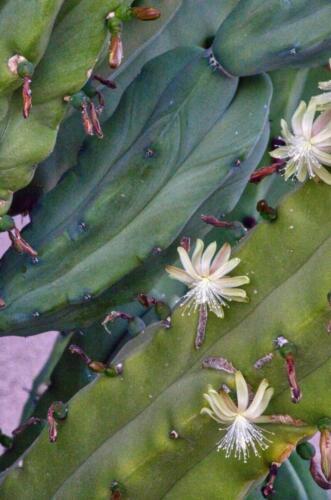cactussmallwhiteflowerwDSC03619 ken