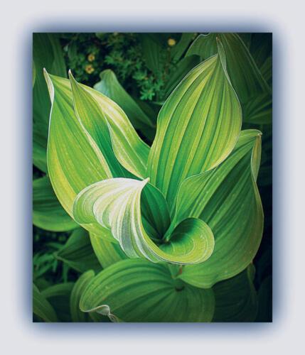 corn flower bernie
