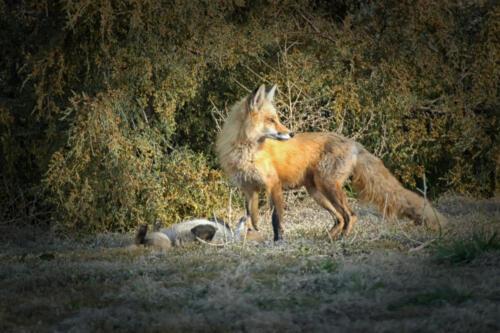 fox 2 061