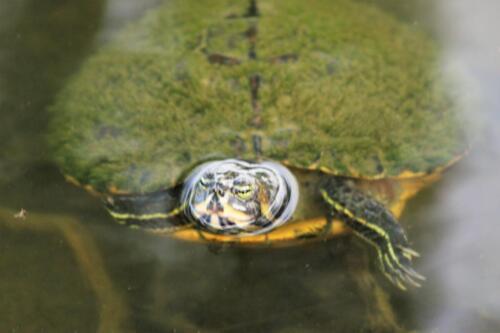 turtle (2) barb c