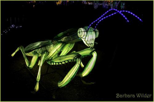 Asian Lanterns Wilder Grasshopper