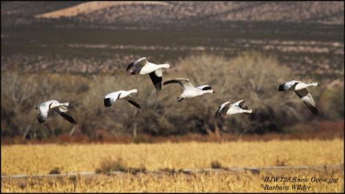 B.Wilder-Bosque -Snow Geese.jpg