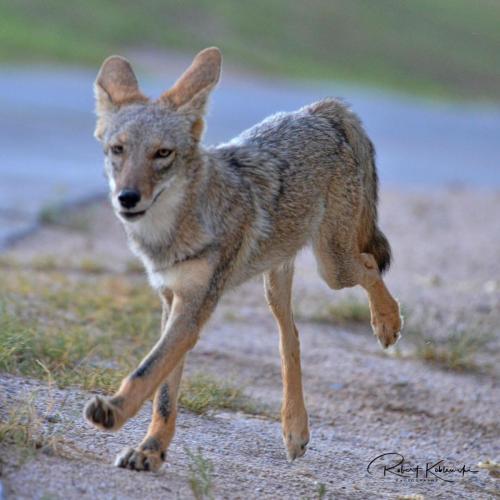 B. Koblewski Coyote
