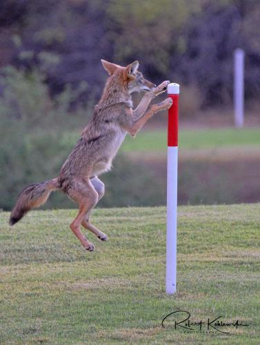 B. Koblewski Coyote 3