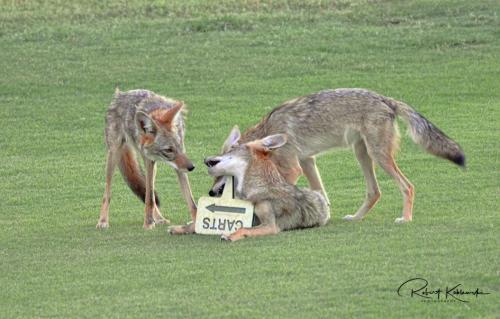 B. Koblewski Coyotes 2