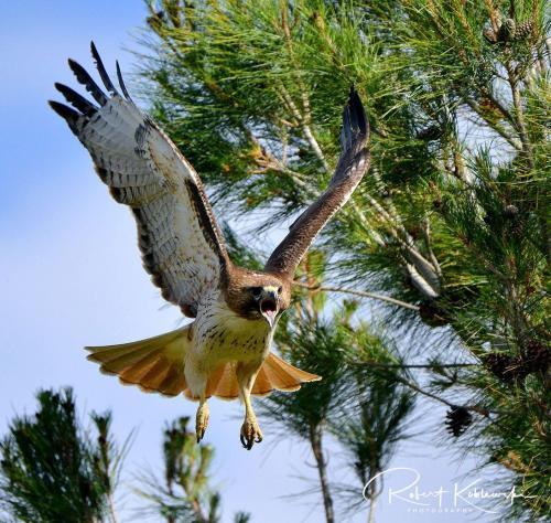 B. Koblewski Hawk