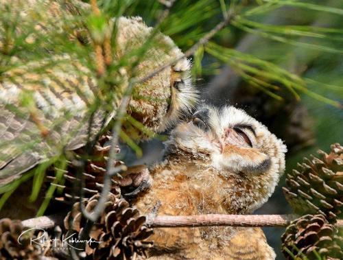 B. Koblewski Owls