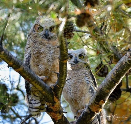 B. Koblewski Owls 2