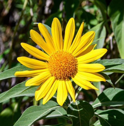 J. Tomasello sunflower