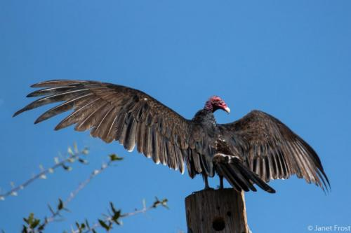 Janet's vulture