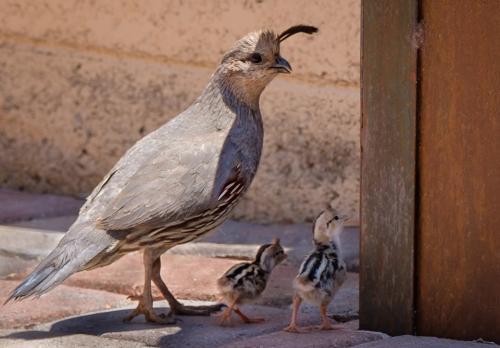 Laural's quail