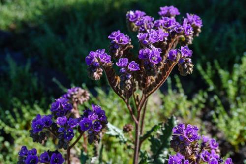 Picacho Butler Scorpion plant