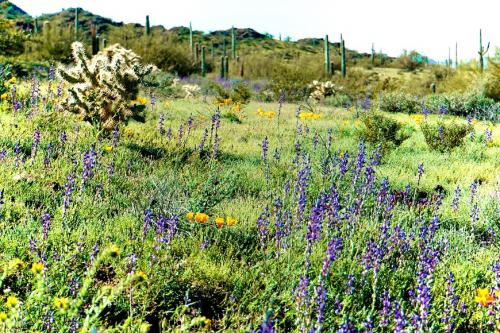 Picacho Henley  Lupine and Poppies