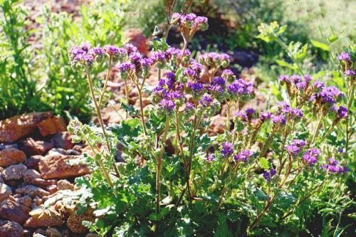 Picacho Henley  Purple Wildflower