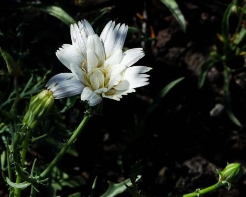 Picacho NagyL Chicory
