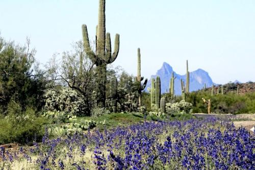 Picacho NagyL Lupine with Picacho Peak