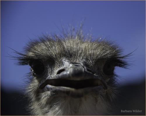 Rooster Cogburn Wilder Ostrich closeup