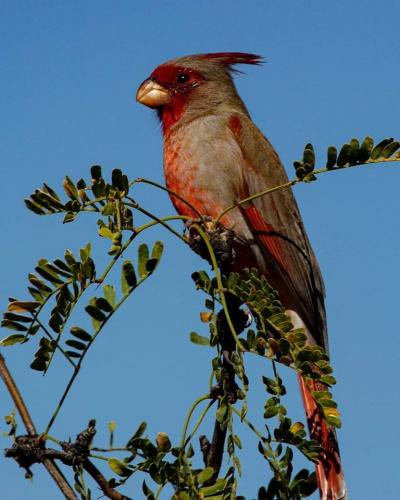 T. Frost Pyrrhuloxia
