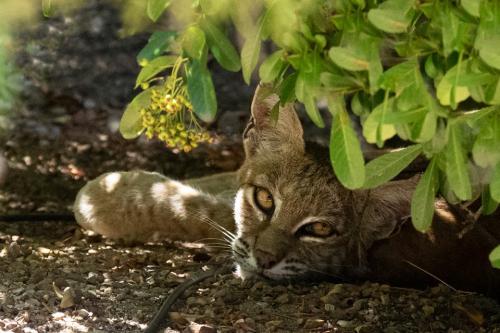 Tom's bobcat